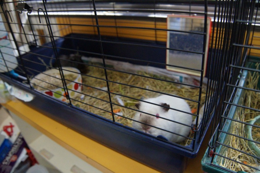 A litter of hamsters was born a few months ago and are being distributed throughout the classes. Caring for them is used as part of the curriculum.
