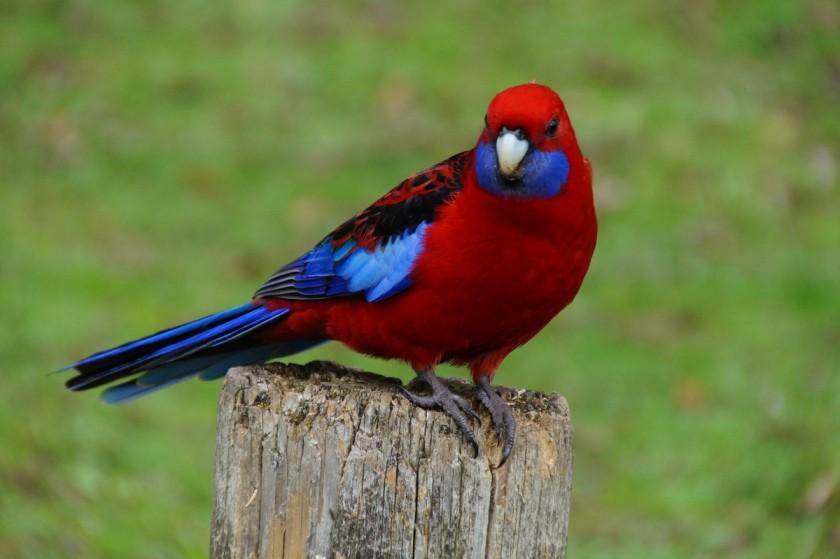 nature_redbird2