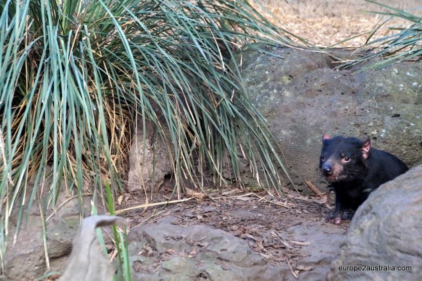 Tasmanian Devel