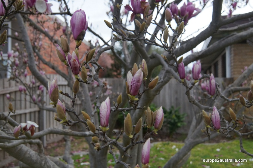 Nature does not seem to mind that it is winter. If I am not mistaken this is Magnolia.