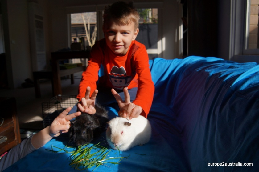 Guinea pigs from school