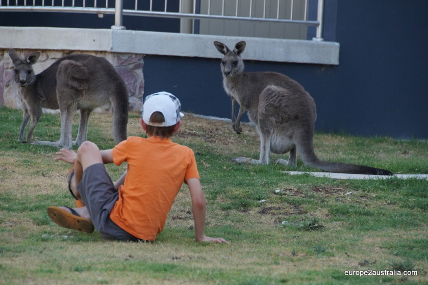 Kangaroo encounter at the Grampians