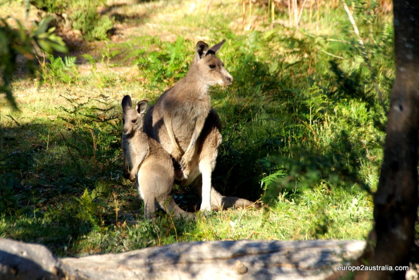 Kangaroo at Grampians