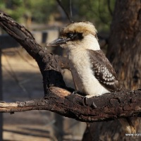 My food got stolen by a kookaburra (bird)