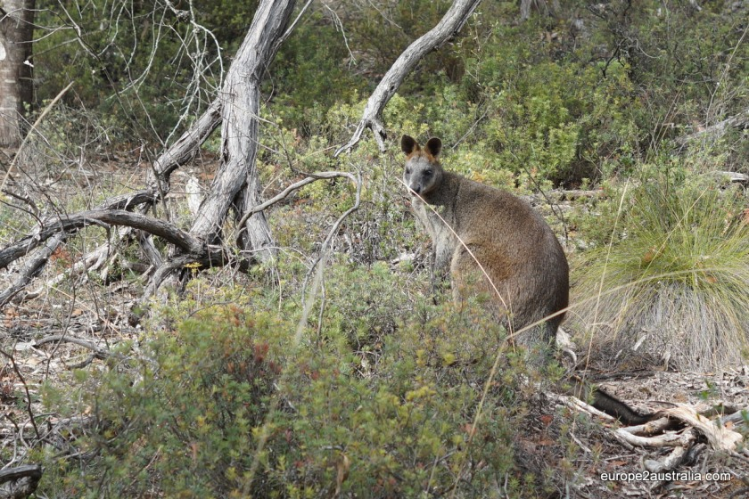 There are quite a number of Kangaroos in the Grampians. This one stopped to say hello.