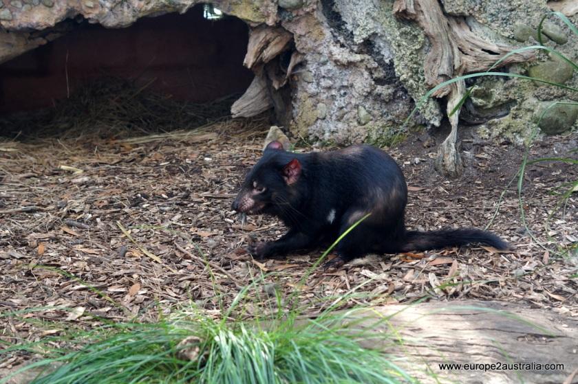 tasmanian-devil-healesville-sanctuary