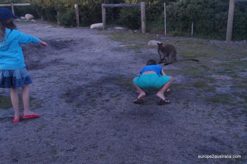 kangaroo-at-friendly-beaches