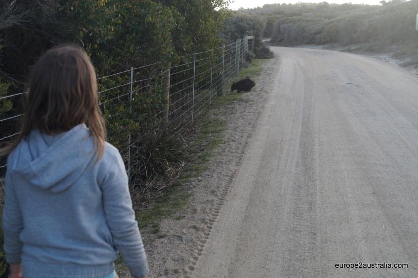 wombat-at-friendly-beaches