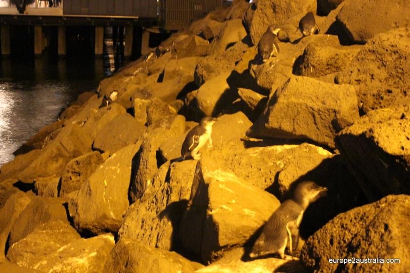 penguins-at-st-kilda-pier