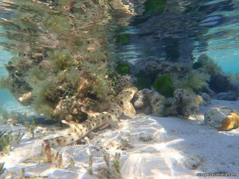 epaulette-shark-heron-island