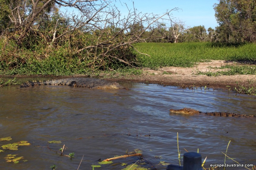 A crocodile stand-off: a salty and a sweety in the shallow waters.